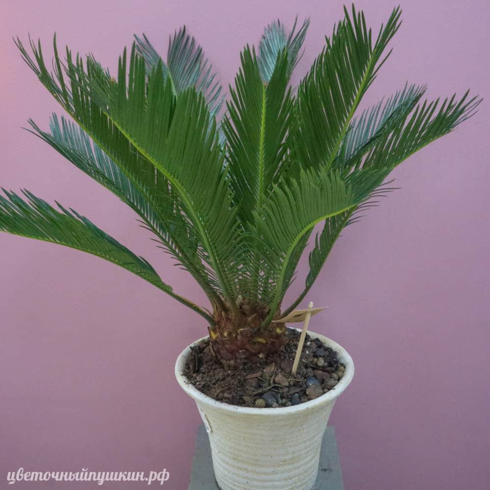 большая-пальма