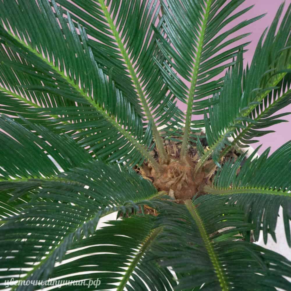 большая-пальма-крупно